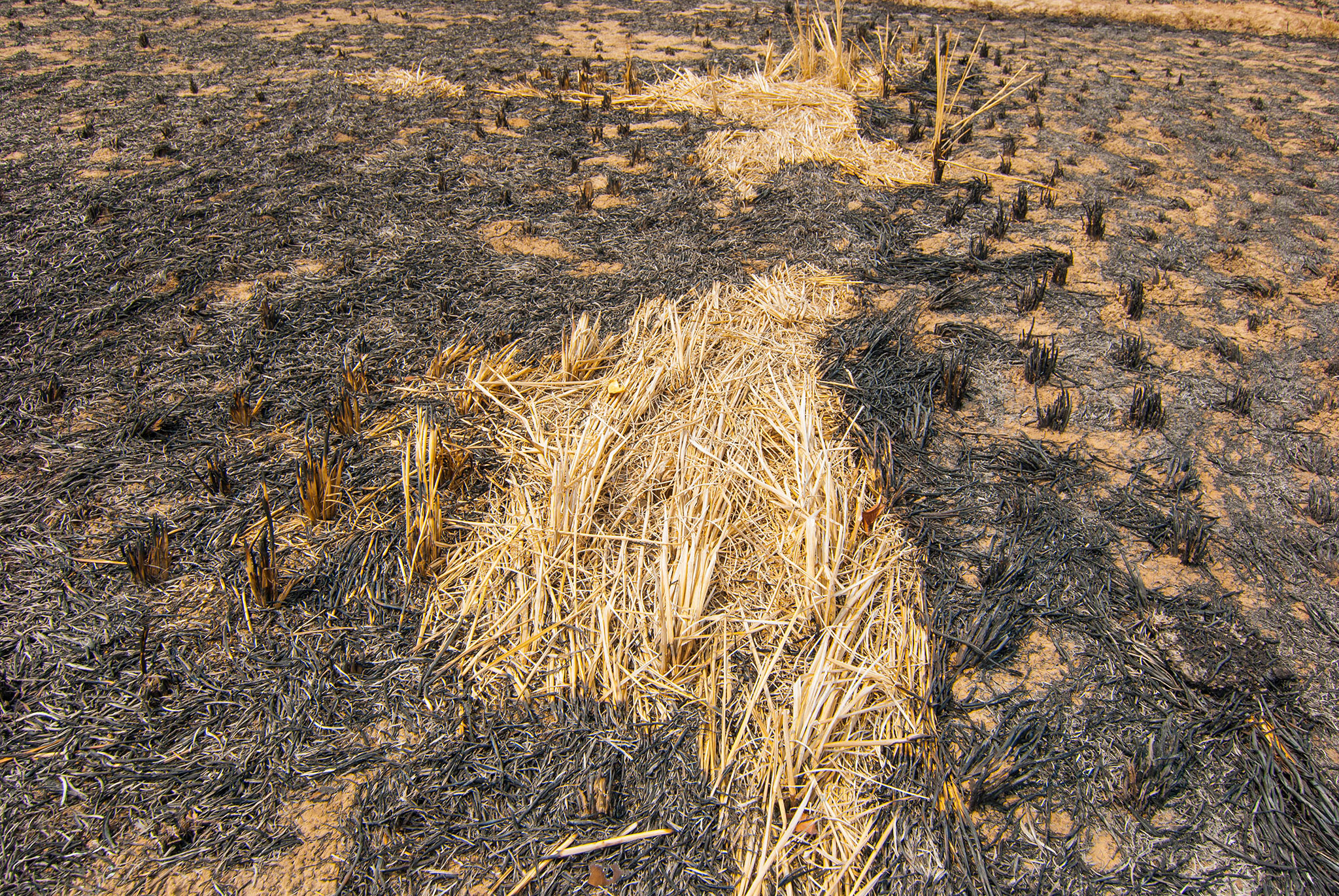"Indian rice farmers have to harvest their crops three times a year, so there is little time between the growing seasons. Often, the so-called ""stubble burning"" is their only way out"